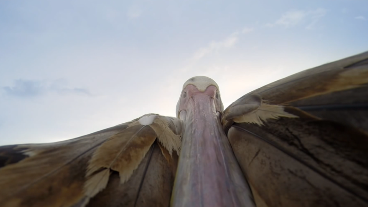 Pelican Learns To Fly caught on camera