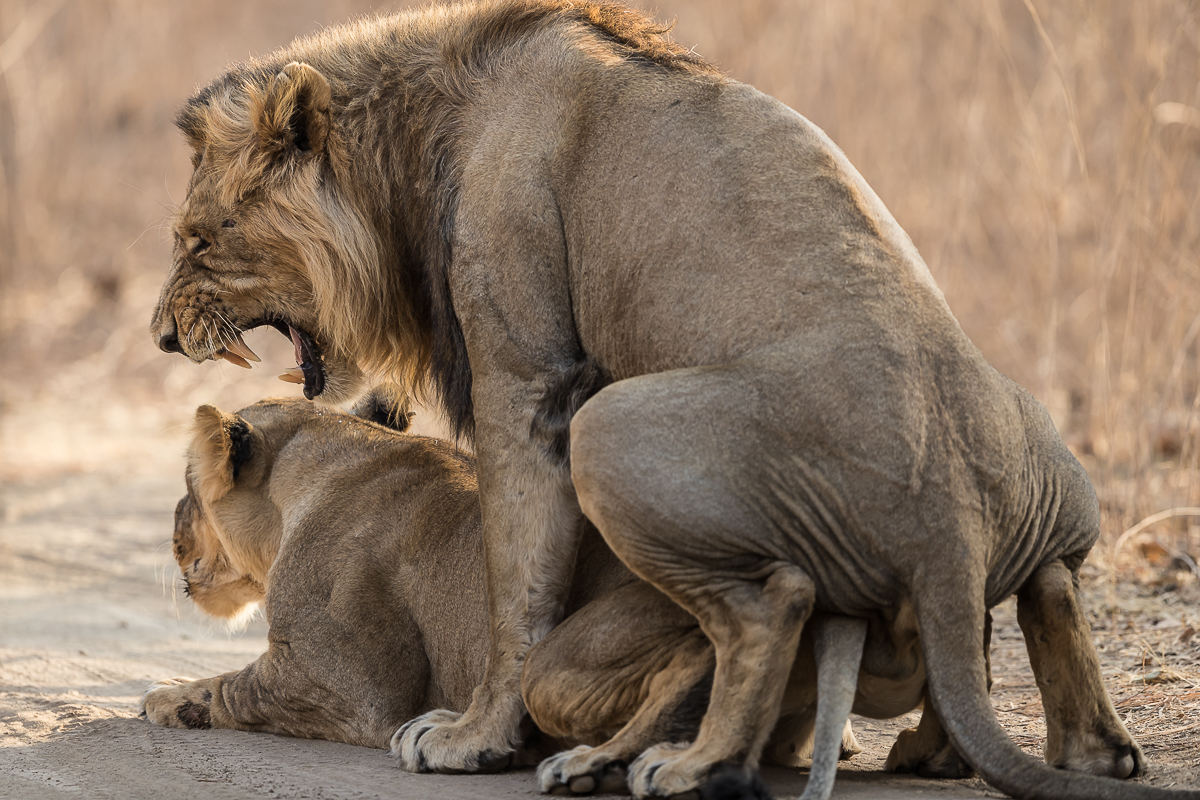 Mating Asiatic Lions