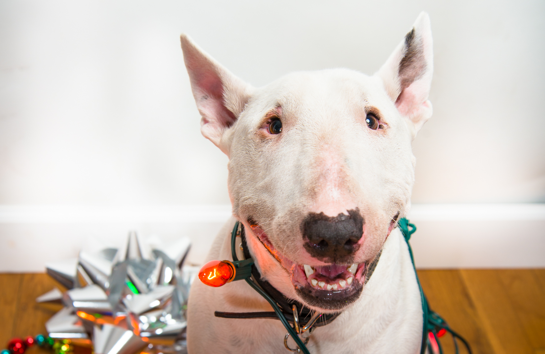 bull terrier for christmas